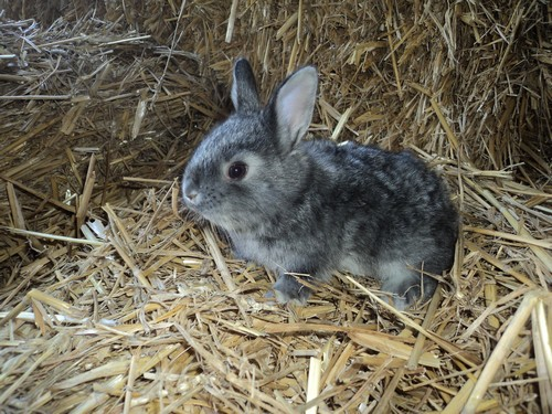 animal-chinchilla-compagnie