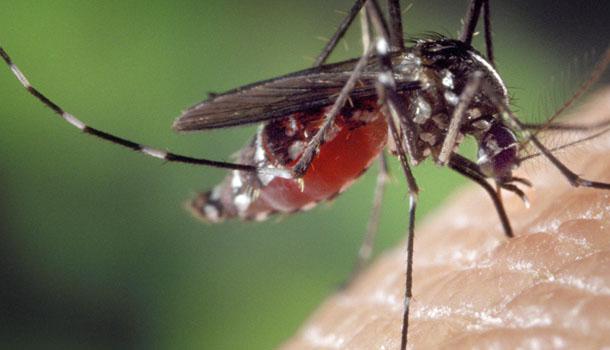 moustique-insecte