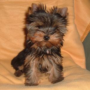 yorkshire-chiot